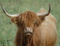 гористая местность стороны коровы Стоковое Фото