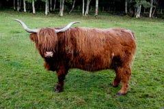 гористая местность Шотландия коровы Стоковая Фотография RF