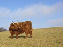 гористая местность 2 коров Стоковая Фотография