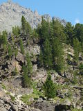 гористая местность altai отслеживает древесину Стоковые Фото