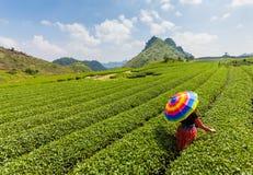 Гористая местность Mocchau, Вьетнам: Холм чая Moc Chau, деревня 25-ое октября 2015 Moc Chau Чай традиционное питье в Азии стоковые фотографии rf