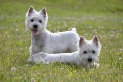 гористой местности puppys terrier белизна на запад Стоковая Фотография RF