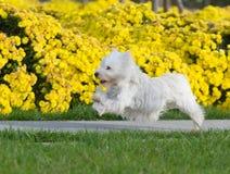 гористой местности terrier белизна на запад Стоковая Фотография RF