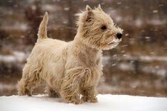 гористой местности terrier белизна на запад Стоковые Изображения