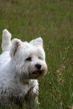 гористой местности terrier белизна на запад Стоковая Фотография