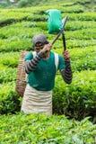 Гористые местности Камерона, Pahang Малайзия - ОКОЛО июнь 2016: Мужские листья чая рудоразборки работника на плантации чая Стоковое Изображение