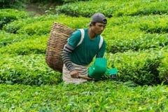 Гористые местности Камерона, Pahang Малайзия - ОКОЛО июнь 2016: Мужские листья чая рудоразборки работника на плантации чая Стоковое Фото