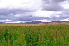 Гористые местности красного зеленого завода поля квиноа андийские, Боливия Стоковые Фотографии RF
