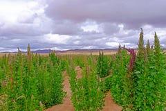 Гористые местности красного зеленого завода поля квиноа андийские, Боливия Стоковая Фотография RF