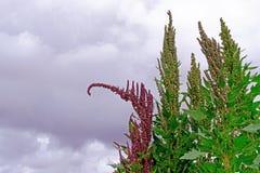 Гористые местности красного зеленого завода поля квиноа андийские, Боливия Стоковая Фотография
