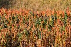 Гористые местности Перу красного поля квиноа андийские Стоковое Изображение RF