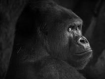 Горилла в зоопарке стоковые фотографии rf