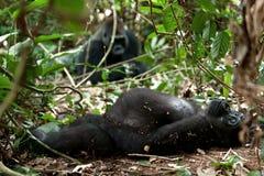 Горилла в Конго, горилла западной низменности в джунглях Конго Портрет гориллы западной низменности (горилла гориллы гориллы) Стоковые Фотографии RF