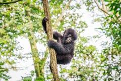 Горилла горы младенца играя в дереве стоковое фото