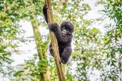 Горилла горы младенца играя в дереве стоковое изображение
