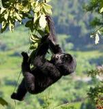 Горилла горы младенца на дереве Уганда Национальный парк леса Bwindi труднопроходимый стоковые фото