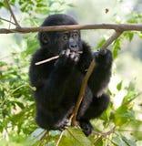 Горилла горы младенца на дереве Уганда Национальный парк леса Bwindi труднопроходимый стоковые изображения rf
