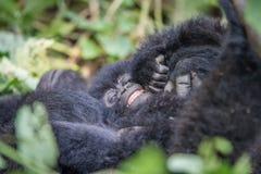 Горилла горы Silverback младенца в национальном парке Virunga стоковые фотографии rf