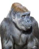 горилла задумчивая стоковое изображение