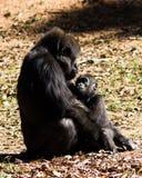 Горилла матери и ребенка Стоковое Изображение RF