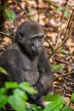 Горилла низменности в джунглях Конго Портрет конца гориллы западной низменности (гориллы гориллы гориллы) вверх на коротком расст Стоковая Фотография RF