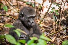 Горилла низменности в джунглях Конго Портрет конца гориллы западной низменности (гориллы гориллы гориллы) вверх на коротком расст Стоковое Изображение RF