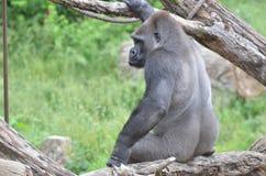Горилла сидя на большом дереве Стоковое Изображение RF