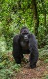 Гориллы горы в тропическом лесе Уганде Национальный парк леса Bwindi труднопроходимый стоковое изображение rf
