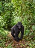 Гориллы горы в тропическом лесе Уганде Национальный парк леса Bwindi труднопроходимый стоковые изображения rf