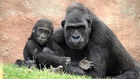 гориллы Стоковые Изображения