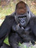 гориллы Стоковая Фотография