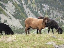 Горная вершина горы вербы овец пася Стоковая Фотография