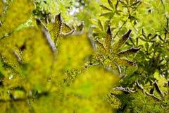 Горнорабочая лист каштана конского - ohridella Cameraria стоковое изображение rf