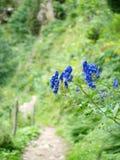 Горные вершины цветка Aquilegia vulgaris Стоковое Изображение