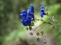 Горные вершины цветка Aquilegia vulgaris Стоковые Изображения RF