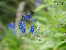 Горные вершины цветка Aquilegia vulgaris Стоковое фото RF