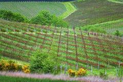 Горный склон завальцовки земледелия виноградников с строками красного гвоздичного дерева Стоковые Фото
