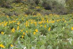 Горный склон леса предусматриванный в цветках дикого balsamroot arrowleaf желтых стоковые фотографии rf