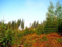 Горный склон, покрытый с молодым лесом ели Стоковое Фото