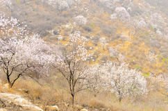 Горный склон цветения персика стоковое изображение rf
