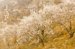 Горный склон цветения персика стоковые фотографии rf