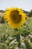 городок Тоскана солнцецветов san gimignano поля chianti backgroun красивейший стоковое фото rf