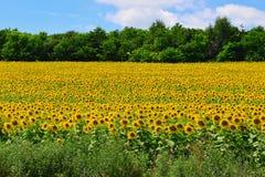 городок Тоскана солнцецветов san gimignano поля chianti backgroun красивейший Стоковое Изображение RF