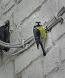 Городская птица сада голубой синицы великобританская стоковые фото