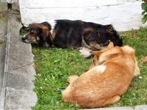 Городские бездомные собаки стоковые изображения rf
