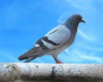 Городской голубь голубя над голубым небом Стоковое Изображение