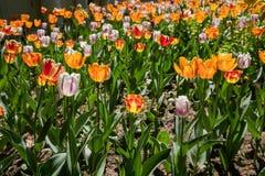Городской Flowerbed с засаженными цветками тюльпана стоковое фото