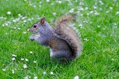 Город/Англия Лондона: Серая белка есть арахис в парке St James стоковое изображение rf