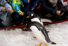 Город Asahikawa, Хоккаидо, Япония 13-ОЕ МАРТА 2019: Парад пингвинов пока идущ через снег на зоопарке Asahiyama, Японии стоковое фото rf