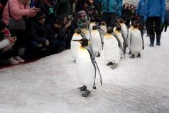 Город Asahikawa, Хоккаидо, Япония 13-ОЕ МАРТА 2019: Парад пингвинов пока идущ через снег на зоопарке Asahiyama, Японии стоковые фото